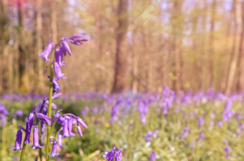 Hallerbos, foresta blu